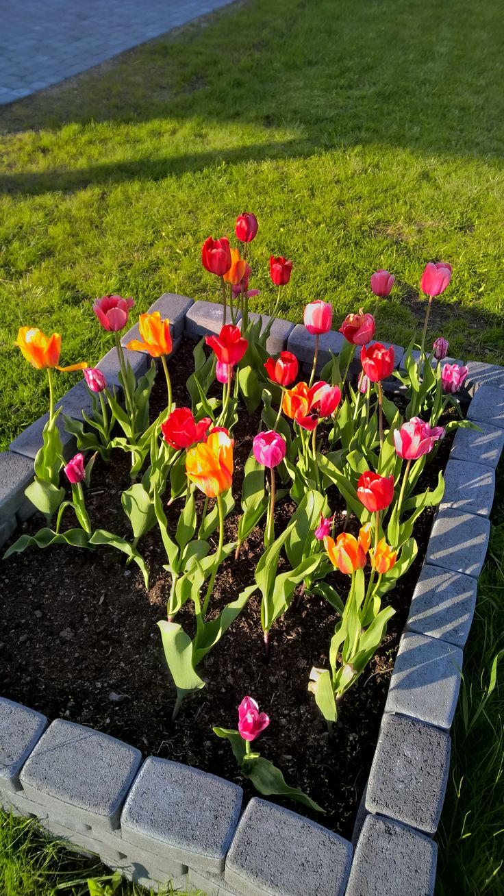 Darwin tulips (red, orange and pink) Darwintulppaanit.