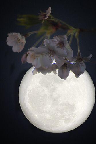✯ Cherry Blossom Moon - Japan