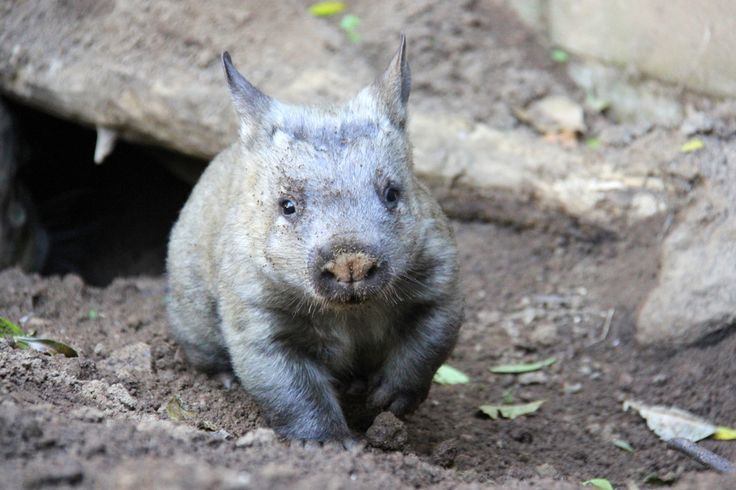 Say hello to Kibbar, the newest little face to emerge from the pouch at our Wombat Burrow.