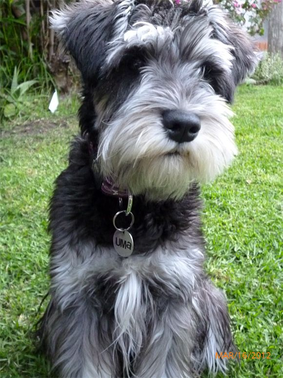 mini schnauzer - Google Search