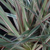 Dragon Plant—How to Grow Dracaena Marginata
