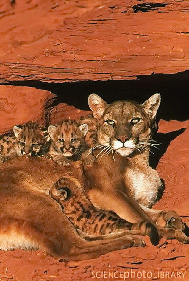[León de montaña (Felis concolor) hembra con sus crías bajo una repisa de roca roja. El león de montaña también se conoce como puma, jaguar y león. Un león de montaña completamente desarrollado tiene una longitud de cuerpo de 1-1,6 metros y un peso corporal de hasta 100 kg.]