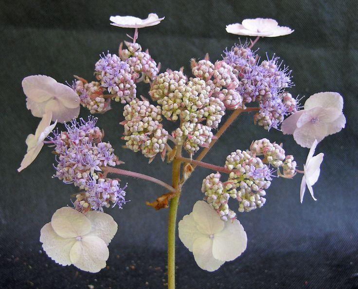 53 best images about hortensia hydrangea on pinterest. Black Bedroom Furniture Sets. Home Design Ideas