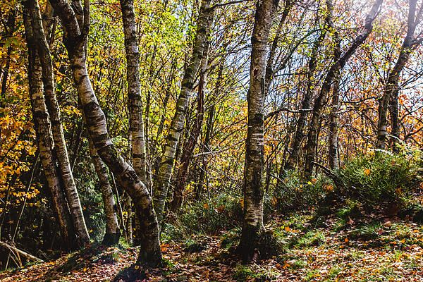 An autumn forest full of beautiful birch trees carying orange and yellow leaves. The sun gives the photograph a magical atmosphere. #nature #forest #photography