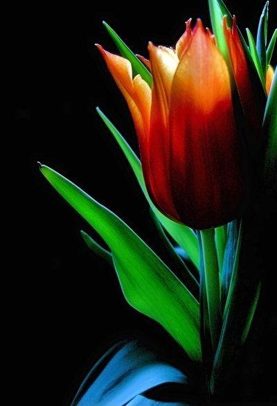 flowersgardenlove: Orange tulip Beautiful gorgeous pretty flowers