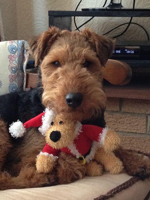 very cute Welsh Terrier