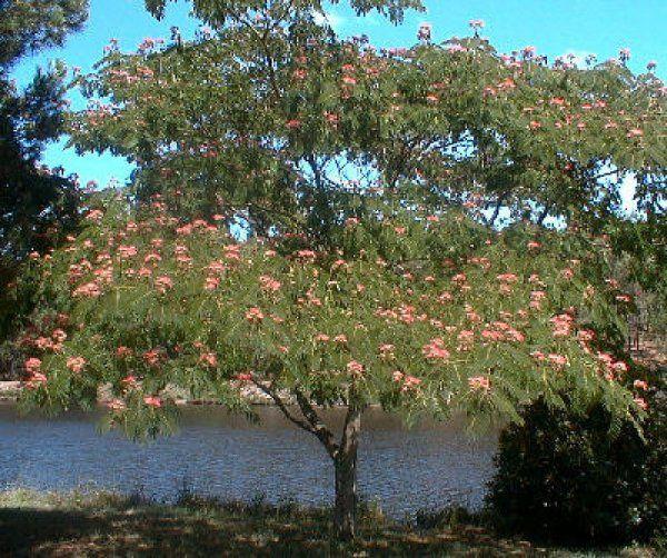 Albizia julibrissin:  Acacia de Constantinopla