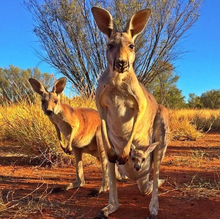 Australia's Outback, Northern Territory   These curious roo's at the The Kangaroo Sanctuary Alice Springs want to know when you'll be visiting?