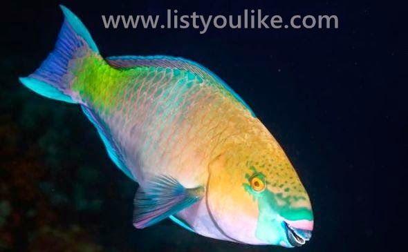 Parrotfish Rainbow