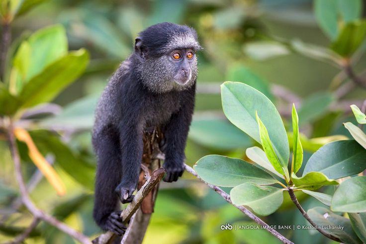 Macaco azul de Angola (Cercopithecus mitis mitis). Uma sub-espécie endémica de Angola.