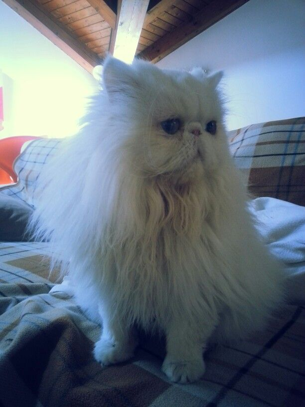 Mario, my sweet persian cat