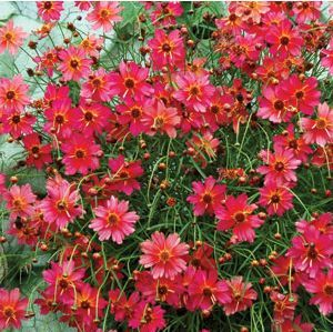 coreopsis rum - Google Search