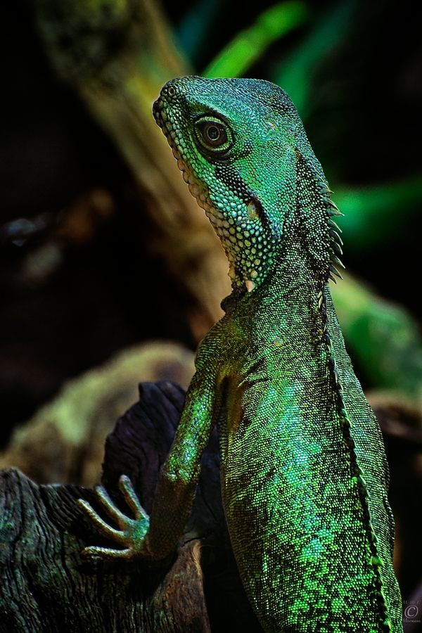 425 best fish frogs turtles lizards etc images on for Water lizard fish