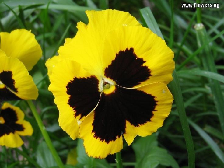 Black yellow pansy black yellow pinterest pansies and yards black yellow pansy black yellow pinterest pansies and yards mightylinksfo