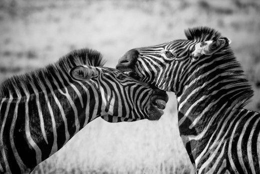 affectionate zebras