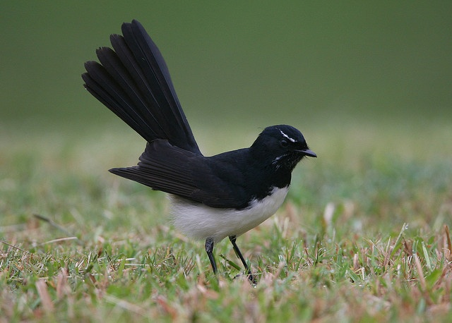 Willy Wagtail by Greg Miles, via Flickr