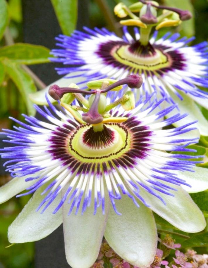 Beautiful  Passiflora