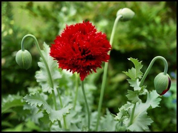 Growing Different Kinds Of Poppies Diy Diy Diy Diy Diy