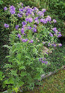 Gewöhnliche Jakobsleiter bzw. Himmelsleiter Polemonium caeruleum Polemoniaceae, Sperrkrautgewächse