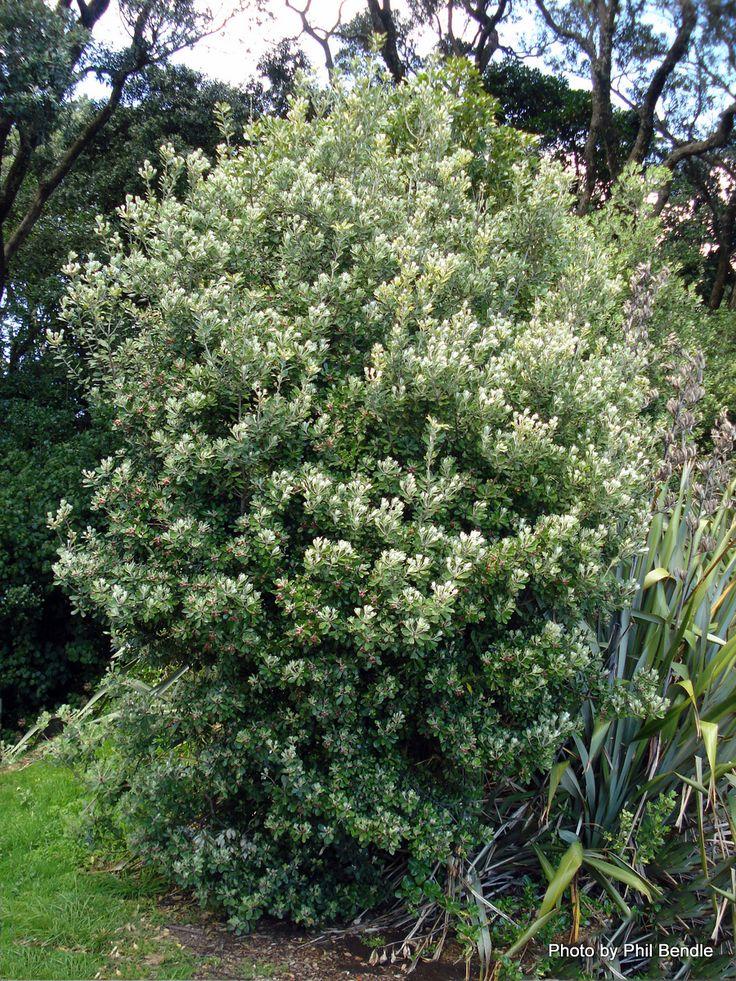 Pittosporum crassifolium (Karo) (Nurse plant) - H 3-6 x W 3