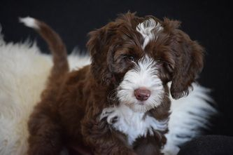 Photo gallery of our Australian Labradoodles. - Australian Heritage Labradoodles