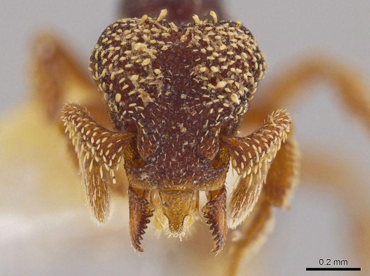 Sono 33 le nuove specie di formica-predatrice individuate da un biologo dell'Università   di   Utah  nelle foreste dell' America Centrale   e nei Caraibi  .     Ad alcuni esemplari di questi insetti minuscoli ma mostruosi sono stati dati nomi ispirati alle antiche divinità Maya (tra cu