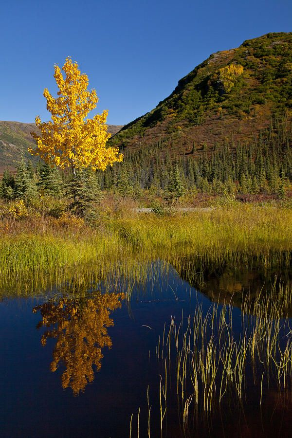 ✯ The colors of an Alaska autumn reflected in a small pond