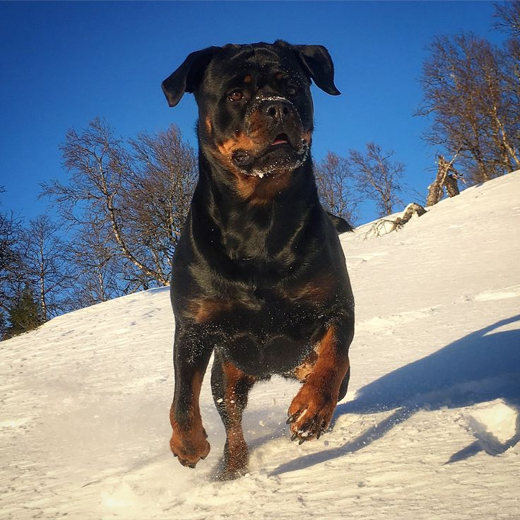 Karma. She is a two years old rottweiler from Norway. Photo by Knut Nes.