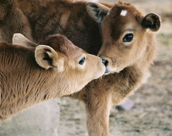 two beautiful cows are kissing