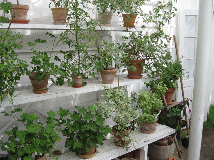 De duftende geranier – Historiske Haver