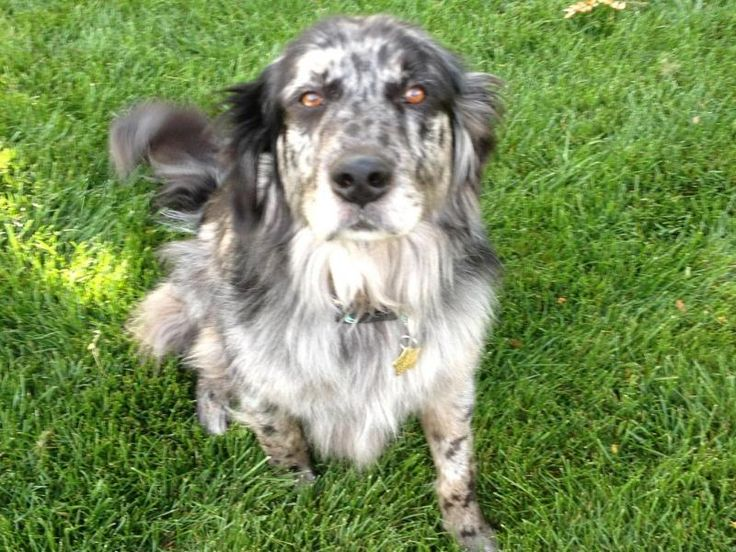 Adopt Blu 8 yrs ADOPTED on Golden retriever rescue