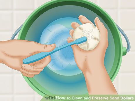 Image titled Clean and Preserve Sand Dollars Step 4