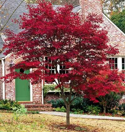 Acer palmatum 'Oshio-beni'  Common Name: Japanese maple Type: Tree Family: Sapindaceae Zone: 5 to 8 Height: 12 to 18 feet Spread: 15 to 20 feet Bloom Time: April Bloom Description: Reddish-purple Sun: Full sun to part shade Water: Medium Maintenance: Low Flowers: Flowers not Showy Leaves: Colorful, Good Fall Color