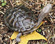 Eastern long necked turtle - Freshwater turtles   NSW Environment & Heritage