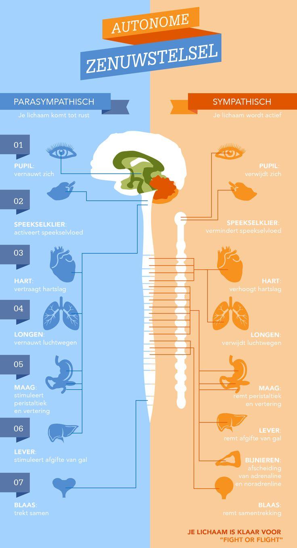 Infographic uit 2015: autonome zenuwstelsel voor slimvitaal.nl