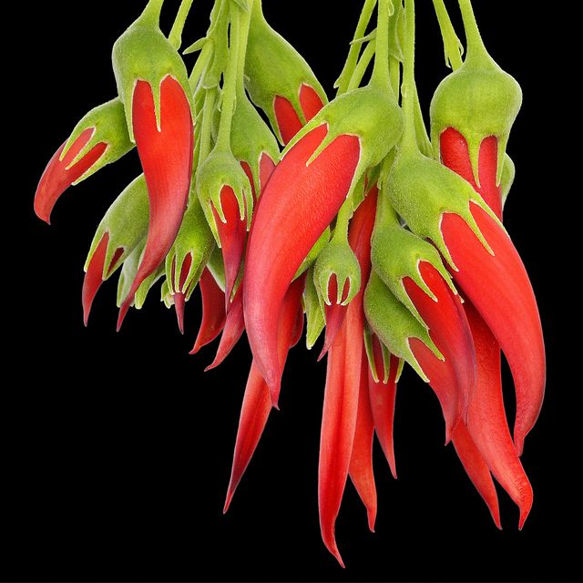 """""""Clianthus puniceus, commonly known as Kaka beak (Ko-whai Ngutu-ka-ka- in Ma-ori), is a woody legume shrub native to New Zealand's North Island. The plant is also known as Parrot's Beak, Parrot's Bill and Lobster Claw. There is also a variety with white to creamy coloured flowers.    """"The species is critically endangered in the wild, known only on Moturemu Island in the Kaipara Harbour."""