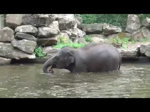 Diergaarde Blijdorp - olifanten in bad - YouTube