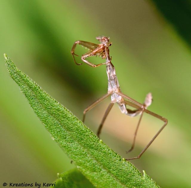 Exoskeleton...Totally Awesome, Mantis Species, Either How Totally, Interesting Shots, Praying Mantis, Species Mantis, Mantis Molting