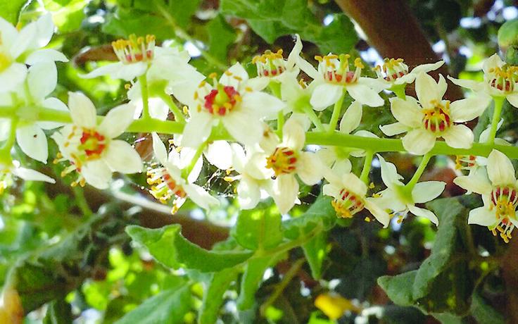 Frankincense (Boswellia sacra) flowers