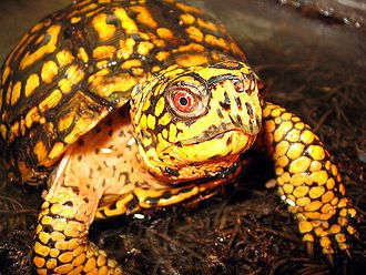 Eastern box turtle, Terrapene carolina carolina. The purpose of World Turtle Day, May 23, sponsored yearly since 2000 by American Tortoise Rescue, is to bring attention to, and increase knowledge of and respect for, turtles and tortoises, and encourage human action to help them survive and thrive.