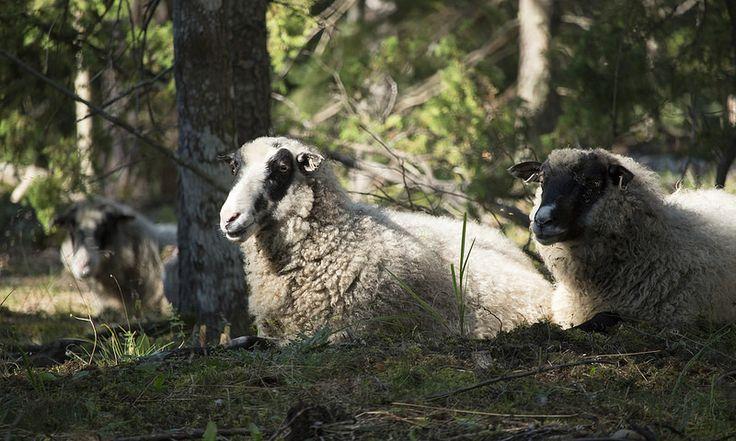 Ravanti Events, Sheeps   by visitsouthcoastfinland #visitsouthcoastfinland #Lohja #ravantievents #sheep #lammas