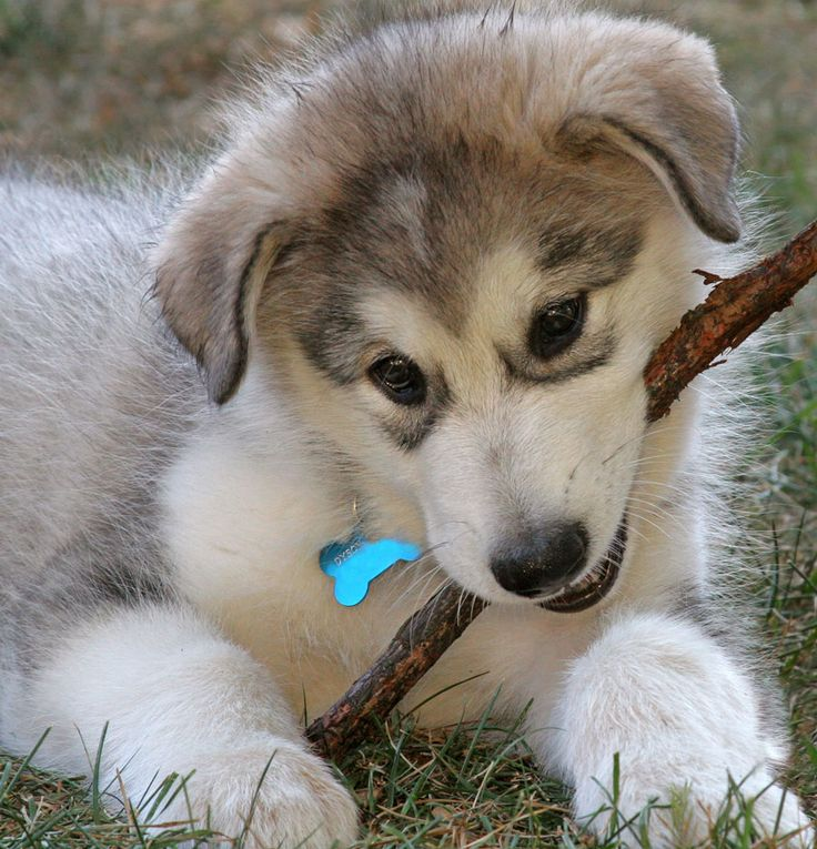 Alaskan Malamute with a stick photo