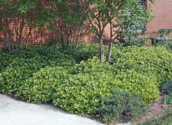 Attractive evergreen foliage seasonal flowers and fruit for Low maintenance evergreen shrubs