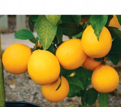 Meyer citrom - citrancs (20/30cm) (Citrus limon 'Meyeri'): Citrusfélék   Ár: 5500.00 Ft