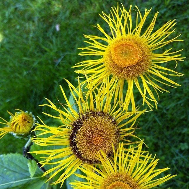 "At a height of 2-6 feet with beautiful yellow blossoms, Elecampane is a stately, sunny perennial to add to your herb #garden. Here's more on this wonderful herb from the Plant Profile in The Herbarium: 🌻🌻🌻 ""Energetically, #elecampane is warm and drying, with a sweet, slightly bitter, and pungent taste. It brings a sense of deep peace and #stillness, and with its forceful elder energy it feels very protective, supportive in the case of vulnerability, and able to banish unwanted energy…"