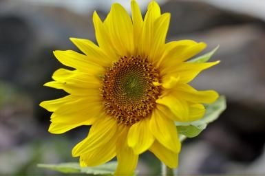 Planting Sunflowers in Your Garden: Sunflower