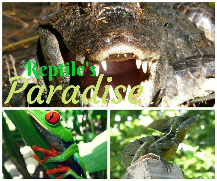 Enjoy with us a real reptile's paradise at the Tortuguero National Park.  Erleben Sie mit uns ein wahres Paradies für Reptilien im Nationalpark Tortuguero.  Disfruten con nosotros de un verdadero paraíso para reptiles en el Parque Nacional Tortuguero.  Vivez avec nous l'expérience d'une vraie paradis pour des reptiles au Parc National de Tortuguero.  tortuguerotours.jf@gmail.com