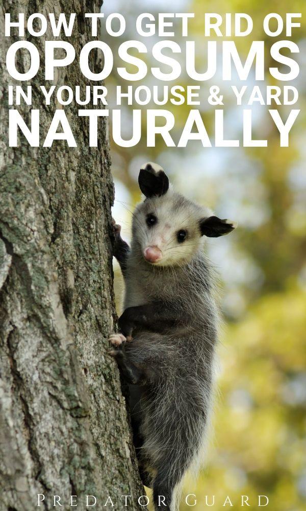 How Do You Get Rid Of Possums In The Backyard - BACKYARD HOME