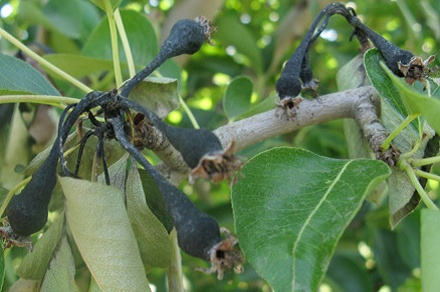 Pear - Common insects & diseases  http://extension.usu.edu/files/publications/factsheet/pear-pests.pdf