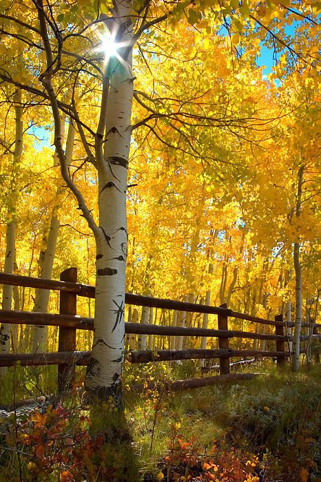 ~~Autumn Gold • Aspens in autumn glow as they are backlit by the rising sun - San Juan Mountains, Colorado • by Adam Schallau~~